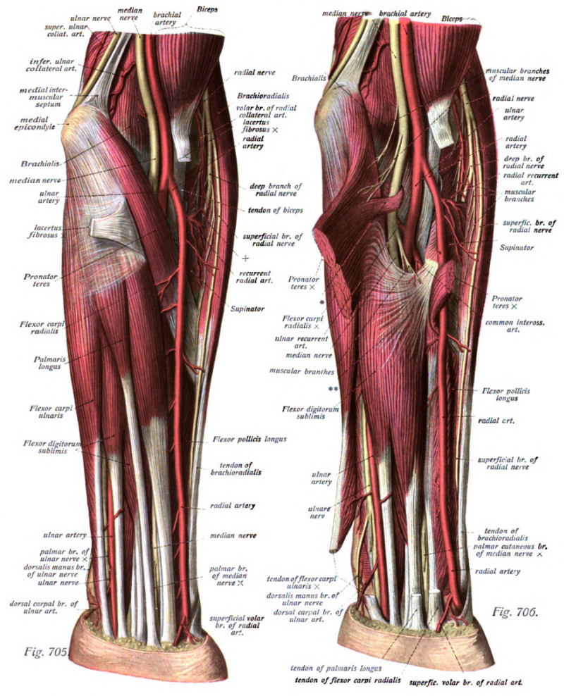 Muscles and nerves of the arm, forearm
